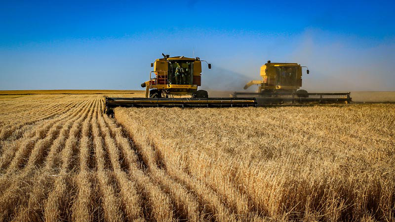 Two harvesters harvesting crop side by side