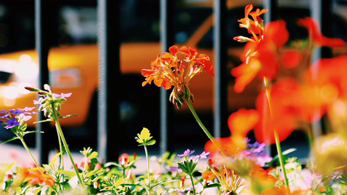 Closeup of orange flowers with blurred iron fence and taxi in background